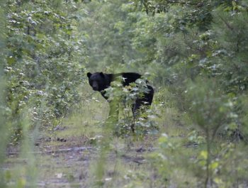 Black bear seen on an Outer Banks Bear Tours